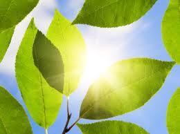 leafs_sun